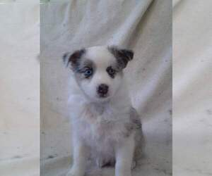 Australian Shepherd Breeder in BUFFALO, MO