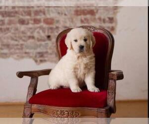 Golden Retriever Dog Breeder in JEFFERSON,  USA