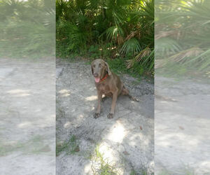 Weimaraner Breeder in LAKELAND, FL