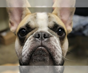 French Bulldog Breeder in London, OH