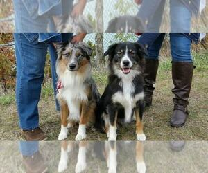 Miniature American Shepherd Dog Breeder near GRAND HAVEN, MI, USA