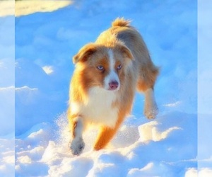 Main photo of Miniature Australian Shepherd Dog Breeder near RAMONA, CA, USA