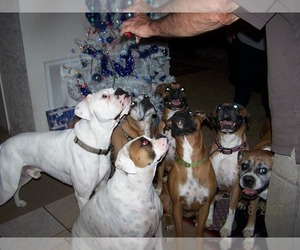 Main photo of Boxer Dog Breeder near BISMARCK, AR, USA