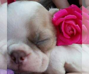 Boston Terrier Dog Breeder in POMEROY,  USA