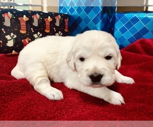 Main photo of Golden Retriever Dog Breeder near HOUSTON, TX, USA