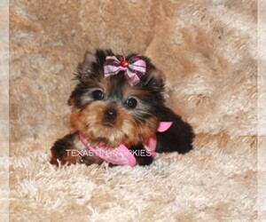 Yorkshire Terrier Dog Breeder in ABILENE,  USA