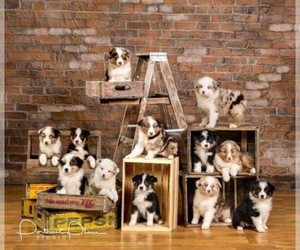 Main photo of Australian Shepherd Dog Breeder near ROBERTS, IL, USA