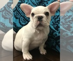 French Bulldog Breeder in ALLEN, TX, USA
