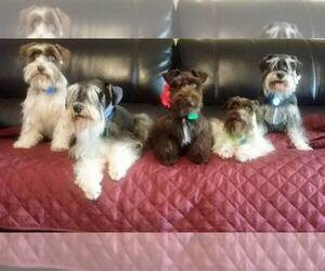 Schnauzer (Miniature) Breeder in BLANCHARD, OK, USA