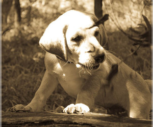 Labrador Retriever Breeder in AINSWORTH, NE, USA
