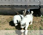 Border Collie Breeder in CHINO VALLEY, AZ