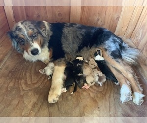 Australian Shepherd Dog Breeder in ESCONDIDO,  USA