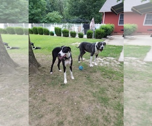 Great Dane Breeder in WILLIAMSBURG, VA