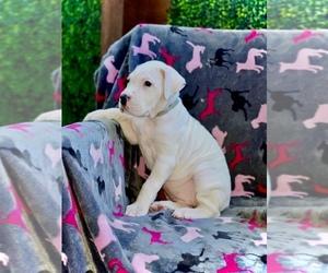 Argentinian Mastiff Dog Breeder in RODEO,  USA
