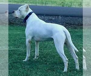 Dogo Argentino Dog Breeder near MESA, AZ, USA