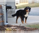 Bernese Mountain Dog Breeder in FRESNO, OH, USA
