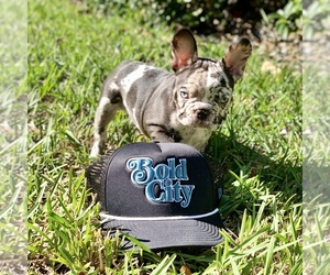 Main photo of French Bulldog Dog Breeder near ORANGE PARK, FL, USA