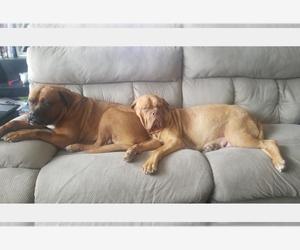 Main photo of Dogue de Bordeaux Dog Breeder near KELLER, TX, USA