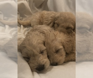 Goldendoodle Dog Breeder in CONCORD,  USA
