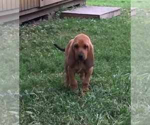 Bloodhound Breeder in Tonganoxie, KS
