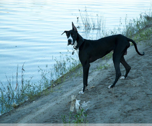 Main photo of Great Dane Dog Breeder near BEDFORD, TX, USA