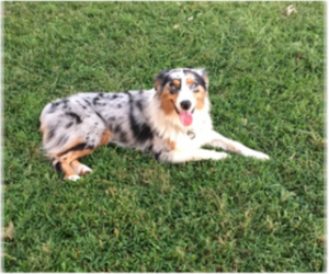 Main photo of Australian Shepherd Dog Breeder near RAMSEUR, NC, USA