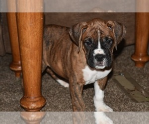 Main photo of Boxer Dog Breeder near YAKIMA, WA, USA