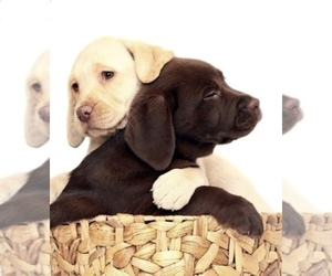 Main photo of Labrador Retriever Dog Breeder near GLADWIN, MI, USA