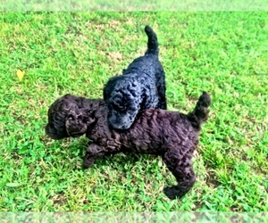 Poodle (Standard) Breeder in WINTER PARK, FL