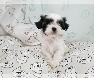 Main photo of Shih Tzu Dog Breeder near LEESBURG, FL, USA