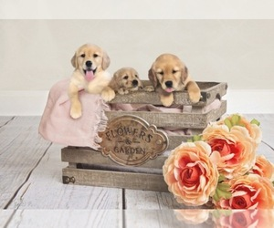 Golden Retriever Dog Breeder near CLIMAX, NC, USA