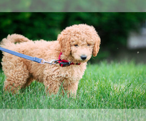 Miniature Bernedoodle Dog Breeder in NORTH VERNON,  USA
