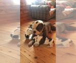 American Bulldog Breeder in NUNDA, NY, USA