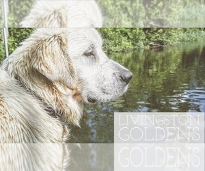 Main photo of Golden Retriever Dog Breeder near FOWLERVILLE, MI, USA