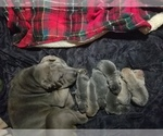 Chinese Shar-Pei Breeder in MERIDIAN, ID, USA