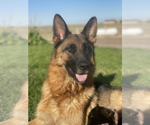 German Shepherd Dog Dog Breeder in EVANS,  USA