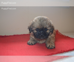 Pug-Shih Tzu Breeder in ROCK HILL, SC, USA
