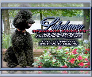 Main photo of Poodle (Standard) Dog Breeder near ARDMORE, NC, USA