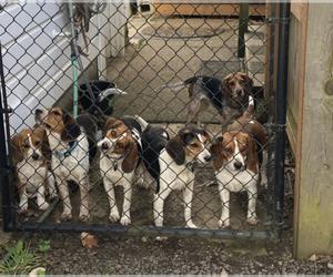 Beagle Dog Breeder in BROWNSVILLE,  USA