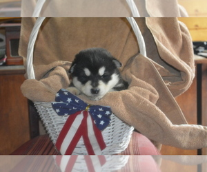 Alaskan Malamute Dog Breeder near LAKEFIELD, MN, USA