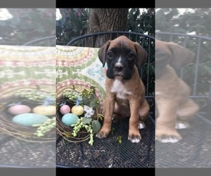 Boxer Breeder in SILOAM SPRINGS, AR, USA