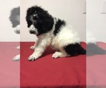Poodle (Standard) Breeder in HOHENWALD, TN, USA
