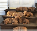Dogue de Bordeaux Breeder in LEXINGTON, KY, USA