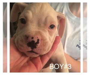 Boxer Breeder in SUMTER, SC