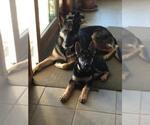 German Shepherd Dog Breeder in SAINT JOSEPH, MO