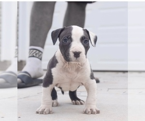 Main photo of American Bully Dog Breeder near EASLEY, SC, USA
