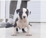 American Bully Breeder in EASLEY, SC, USA