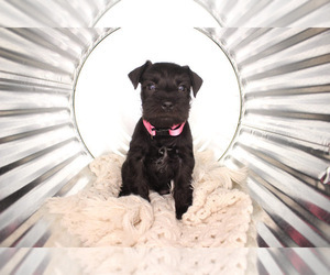 Main photo of Schnauzer (Miniature) Dog Breeder near DECATUR, AL, USA