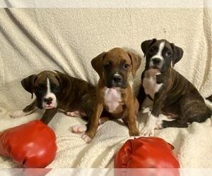Boxer Dog Breeder in HALIFAX,  USA