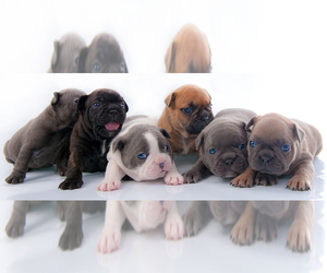 French Bulldog Dog Breeder in HENRICO,  USA